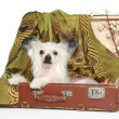 Chinese Crested Dog lies in old suitcase — Stock Photo #5202325
