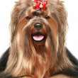 Yorkshire terrier with red bow — Stock Photo #5202384