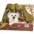 Chinese Crested Dog lies in old suitcase — Foto de Stock