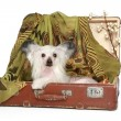Chinese Crested Dog lies in old suitcase — Stock Photo