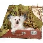 perro Crestado Chino se encuentra en la vieja maleta — Foto de Stock