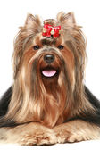 Yorkshire terrier with red bow — Stock Photo