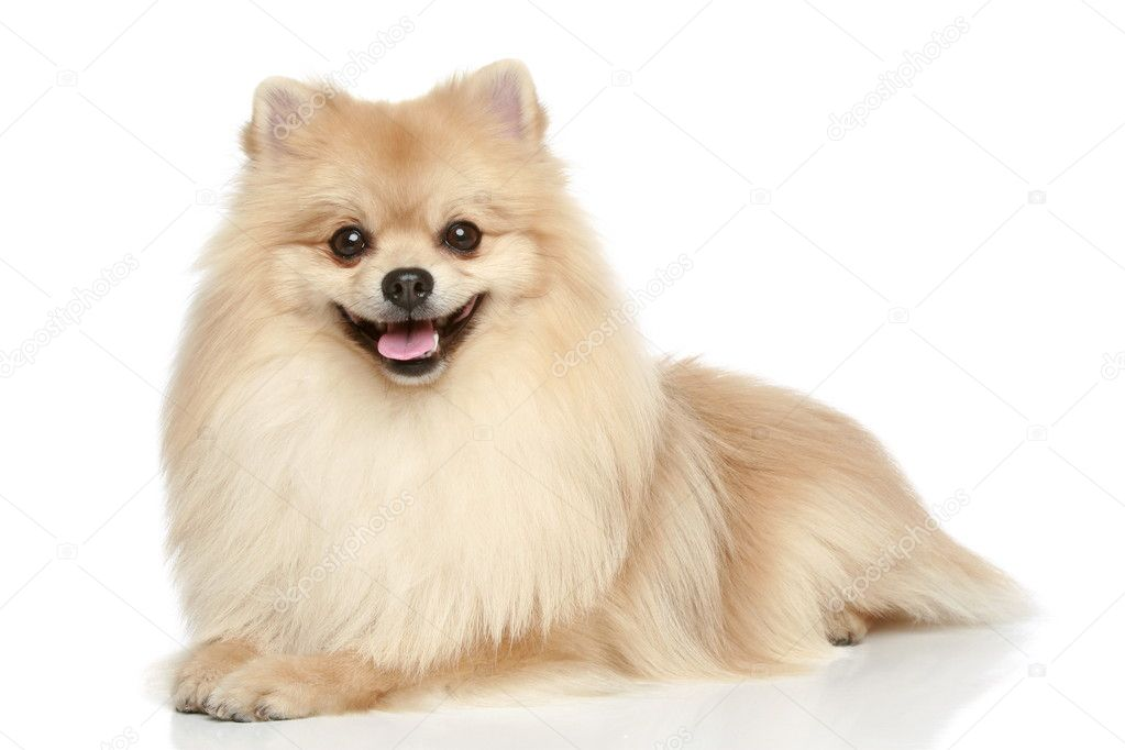 Pomeranian Spitz puppy on a white background — Stock Photo ...
