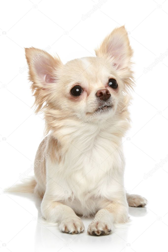 Long coat chihuahua on a white background | Stock Photo © FotoJagodka ...
