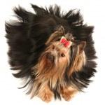 Yorkshire terrier — Stock Photo #4402938