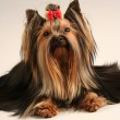 Yorkshire terrier — Stock Photo #4402965