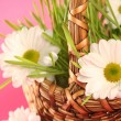 Camomile on pink — Stock Photo