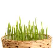 Rostlina na bílém pozadí — Stock fotografie