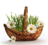 Camomile in basket — Stock Photo