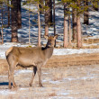 Grazing deer in winter wood — Stock Photo #5199748