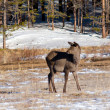 Grazing deer in winter wood — Stock Photo #5199754