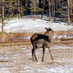 Grazing deer in winter wood — Stock Photo