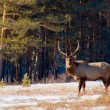 Grazing deer in winter wood - Stock Photo