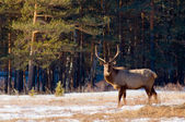 Grazing deer in winter wood — Stock Photo