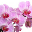 Stock Photo: Pink orchid isolated on white background