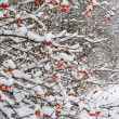 Stock Photo: Bush with red berries in winter time