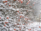 Bush with red berries in winter time — Stock Photo
