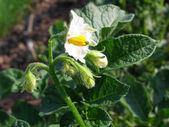 Fleur de pomme de terre sur le terrain — Photo