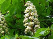 Flowers of chestnut — Stock Photo