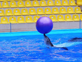 Dolphin plays with the ball in the pool — Stock Photo