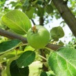 Stock Photo: Apple grows on tree