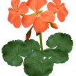 Vector illustration of blooming geranium - Grafika wektorowa