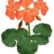 Vector illustration of blooming geranium - Vettoriali Stock