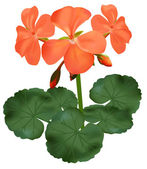 Vector illustration of blooming geranium — 图库矢量图片