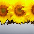 Three sunflowers with copyspase - Foto de Stock  