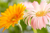 Closeup of two daisy-gerbera — Stock Photo