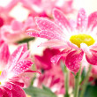 Closeup of two pink daisy-gerbera with waterdrops — Stock Photo #4127309
