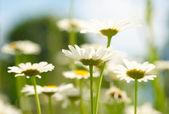 White and yellow daisies — Stock Photo