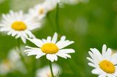 белые и желтые ромашки — Стоковое фото
