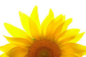 Part of sunflower on white background — Stock Photo