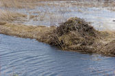 Natural beaver dam — Stock Photo