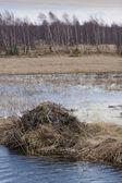 Natural beaver dam — Stock Photo