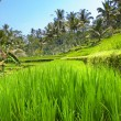 Kind on rice terraces, Bali, Indonesia - Foto de Stock  