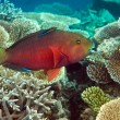 Stock Photo: Indiocean. Fishes in corals. Maldives