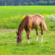 Bay horse on a meadow in a bright sunny day — ストック写真