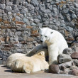 The white she-bear feeds newborn bear cubs with milk — Stok fotoğraf