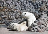 Beyaz dişi ayı yeni doğan ayı yavrularını sütle besleniyor — Stok fotoğraf