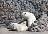 The white she-bear feeds newborn bear cubs with milk — 图库照片