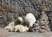 The white she-bear feeds newborn bear cubs with milk — Stock Photo