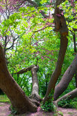 Old sprawling tree in city park. Varna. Bulgaria. — Stock Photo