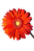 Gerbera Flower on a white background — Stock Photo