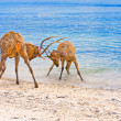 Two deer butt horns at ocean - Foto de Stock