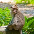 Long-tailed macaque - Foto de Stock