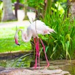 Flamingo — Stock Photo #4833704