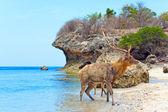 The deer leaves the sea on coast — Stock Photo