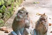 Long-tailed macaque pól jabłko — Zdjęcie stockowe